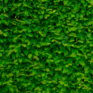 a wall of very green ivy